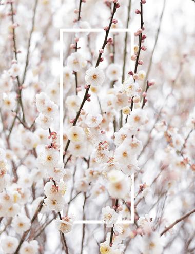 plum_blossoms_thum